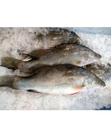 Fresh Seabass/Bass Laut (500 - 600g/pc)